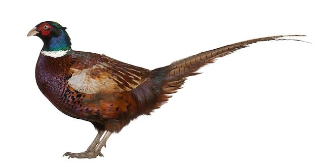 Mężczyzna bażant zwyczajny phasianus colchicus ptak w bażant stojący na białym tle
