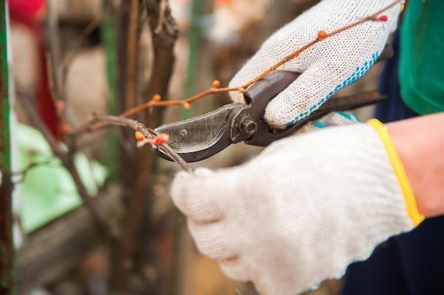 Mężczyzna dba o winnicy z bliska i kopiować miejsca. przycinanie winorosli jesienią i wiosną.