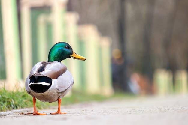 Mężczyzna kaczka z zieloną głową spaceru w parku latem.