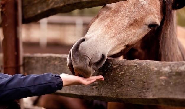 Mężczyzna karmi konia w stadninie koni
