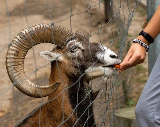 Mężczyzna karmi mufloną marchewką w zoo