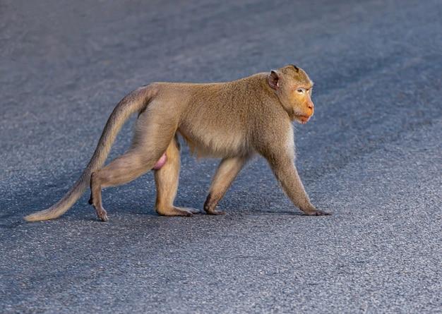 Mężczyzna małpa przechodzi przez ulicę