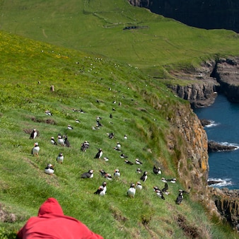 Mężczyzna obserwuje maskonura atlantyckiego lub maskonura zwyczajnego - fratercula arctica na mykines na wyspach owczych