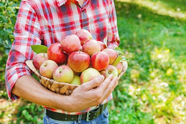 Mężczyzna ogrodnik podnosi jabłka w ogrodzie w ogrodzie
