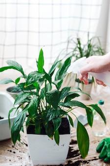 Mężczyzna ogrodnik przesadzający rośliny doniczkowe spathiphyllum. podlewanie kwiatów z butelki z rozpylaczem. koncepcja ogrodnictwa domowego.