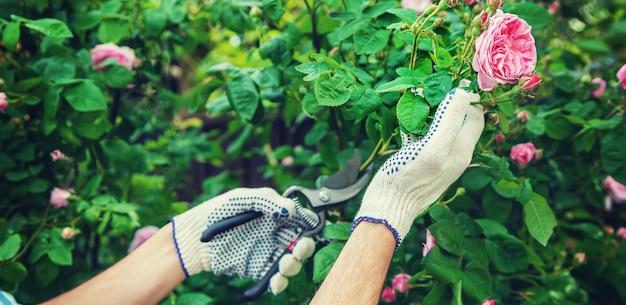 Mężczyzna ogrodnik przycinanie herbaty różane nożyce.