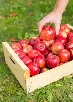 Mężczyzna ręka stawia czerwonego jabłka w pudełku w ogródzie