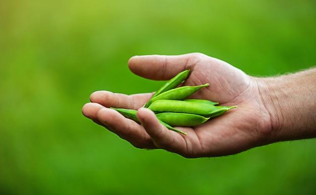 Mężczyzna ręka trzyma świeży zielony groszek.