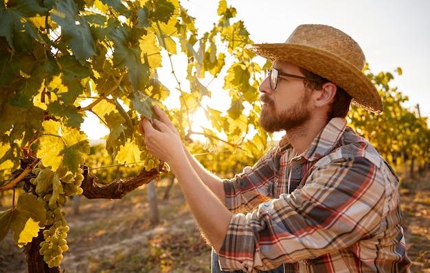 Mężczyzna rolnik bada liście winogron