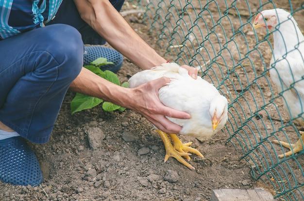 Mężczyzna rolnik trzyma kurczaka w jego rękach.