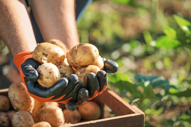 Mężczyzna rolnik z zebranymi ziemniakami w polu, zbliżenie
