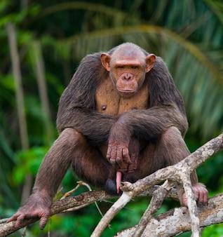 Mężczyzna szympans na gałęziach namorzynowych