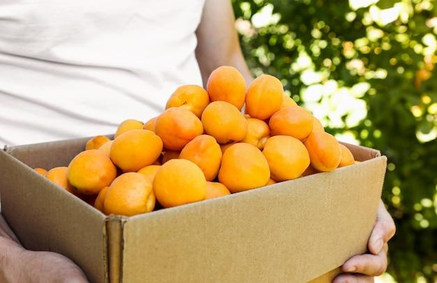 Mężczyzna trzyma pudełko z dojrzałymi pomarańczowymi owocami soczyste morele z bliska zbiór w ogrodzie na zewnątrz