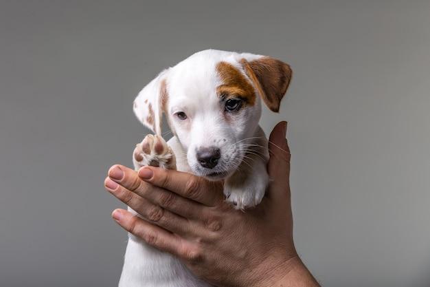 Mężczyzna trzyma w rękach ładny szczeniak jack russel