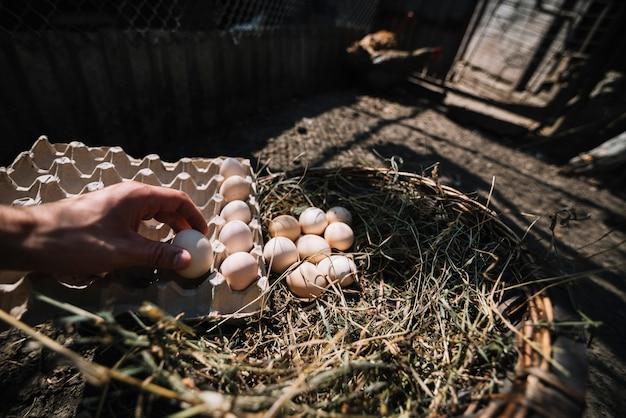 Mężczyzna umieszcza jaja wylęgowe z gniazda do kartonu