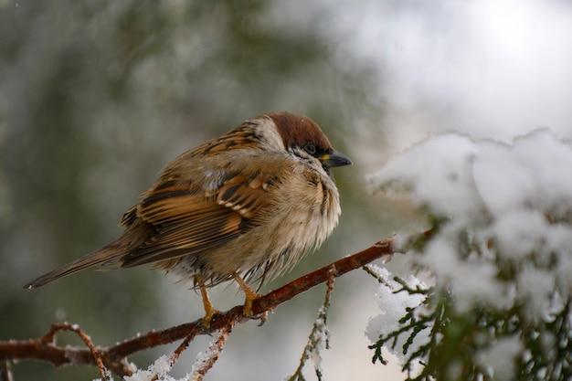 Mężczyzna wróbel (passer domesticus) siedzi na gałęzi jodły.