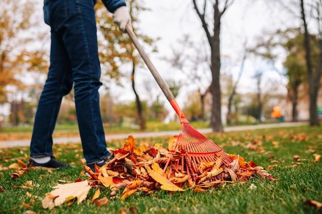 Mężczyzna z grabiami czyści liście na podwórku. jesienny krajobraz. kupie spadek liści na zielonej trawie.