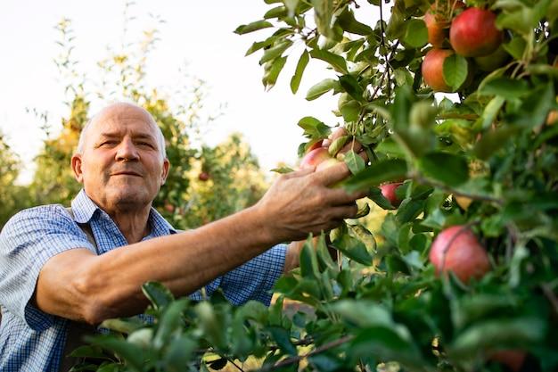Mężczyzna zbiera jabłka z drzewa w sadzie owocowym
