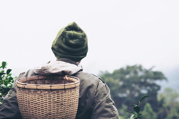 Mężczyzna żniwa, wyboru świeża zielona herbata / opuszcza przy wysokiej ziemi herbaty polem w chiang mai tajlandia