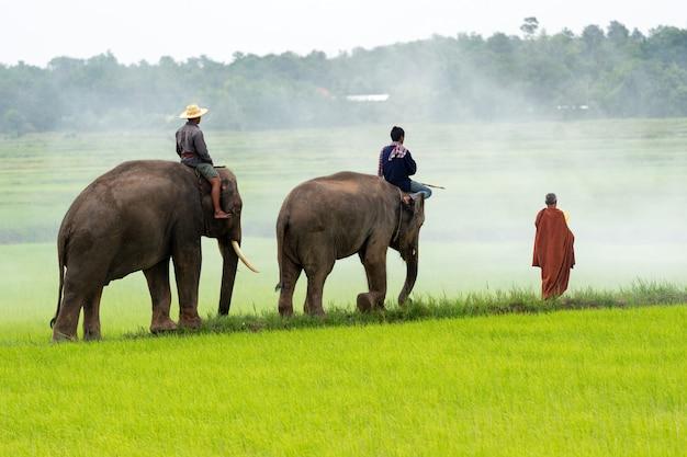 Mężczyźni i słonie na polu ryżu