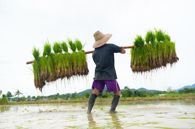 Mężczyźni używają prętów bambusowych do wkładania sadzonek ryżu chodzących po grani.