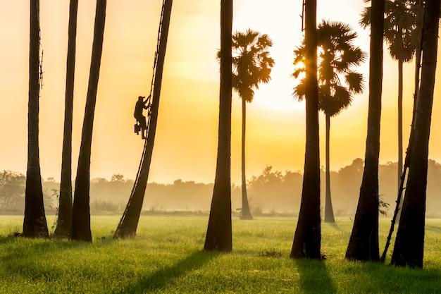 Mężczyźni wspinają się rano na palmę, a niebo jest kolorowe, aby usunąć wyprzedaż tan.