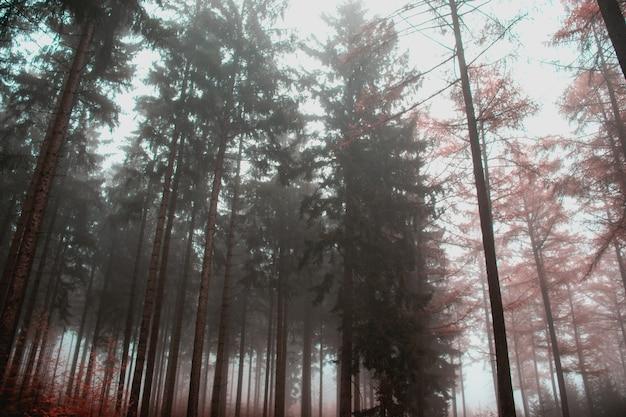 Mgła w lesie z wysokimi drzewami