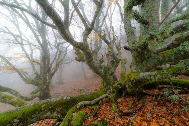 Mglisty krajobraz w bukowym lesie magicznego lasu z zaczarowanymi bukami i magiczną baśniową atmosferą.