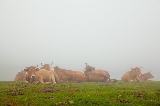 Mglisty krajobraz z dzikimi krowami w zielonej trawie góry