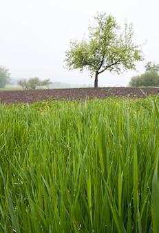 Mglisty majowy poranek (zroszona trawa na pierwszym planie i samotne drzewo z tyłu)