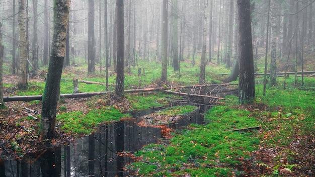 Mglisty poranek na bagnach w leśnym krajobrazie