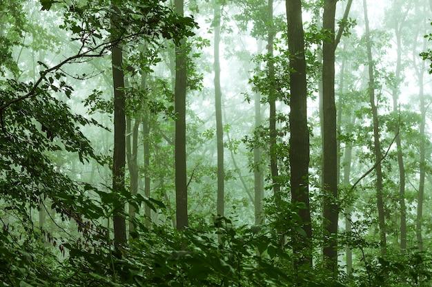 Mglisty poranek w gęstym lesie