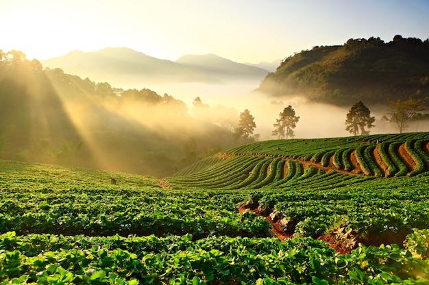 Mglisty poranek w truskawkowej roślinie przy doi ang khang górą, chiang mai tajlandia