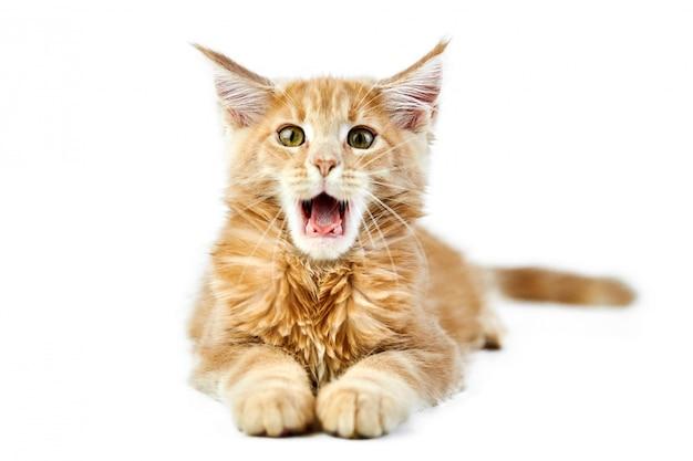 Miauczący kotek maine coon, na białym tle