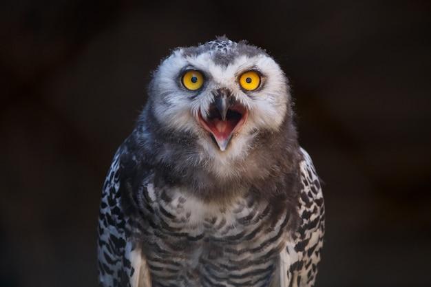 Micrathene whitneyi, sowa lub sowa karłowata z otwartymi ustami podczas krzyku.