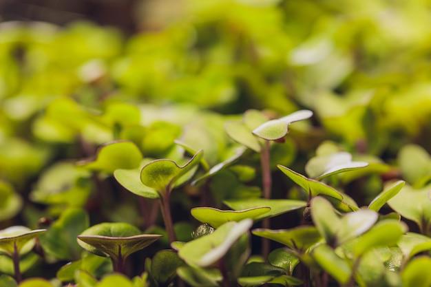 Microgreen grupa zielonych i fioletowych pędów wyrastających z młodych warzyw gleby w słońcu