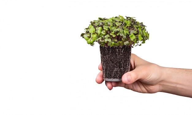 Microgreens kapusta w ręku na białym tle