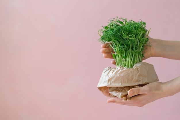 Microgreens w doniczce kiełkuje groszek lub fasola w garnku zielone pędy do sałatki kiełkuje w domu