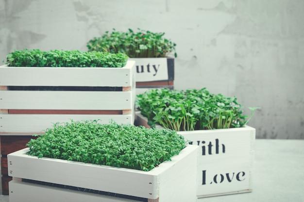 Microgreeny w białych drewnianych skrzynkach.