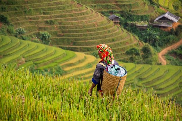 Miejscowi ludzie w mu cang chai, wietnam ona jest średniorolnym żniwem ryżowym przy ryżu polem przy słonecznym dniem.