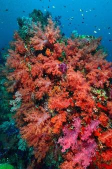 Miękka koralowa kolonia, wyspa similan tajlandia
