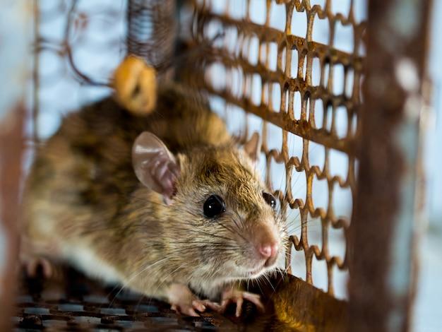 Miękka ostrość szczura w klatce łapiącej szczura. szczur zakaża ludzi chorobą