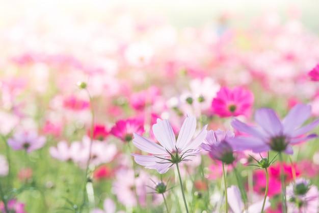 Miękka, selektywna ostrość kosmosu, rozmyty kwiat na tle, kolorowe rośliny