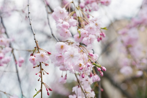 Miękki kwiat wiśni