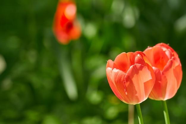 Miękki wizerunek piękny czerwony tulipan na zieleni