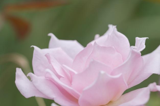 Miękkie fokus różowa róża