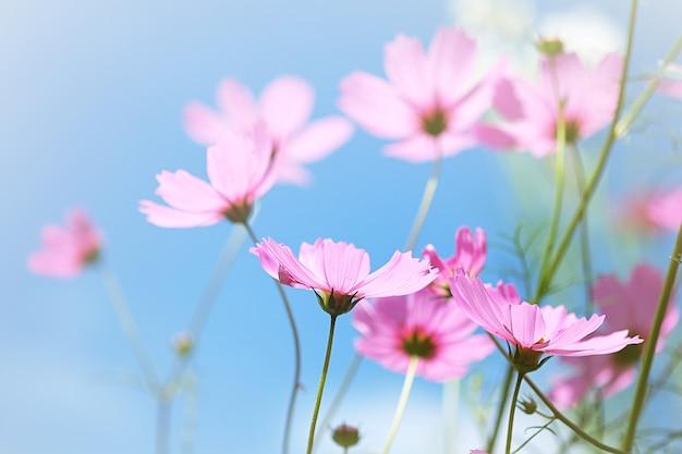 Miękkie i rozmyte kwiaty kosmosu z niebieskim tłem nieba