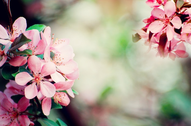 Miękkie skoncentrowane różowe kwiaty jabłoni na tle rozmazanego bokeh. romantyczny kwiatowy szablon.