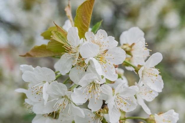 Miękkie tło kwiatowy z pachnącymi kwiatami wiśni, wiosennymi kwiatami