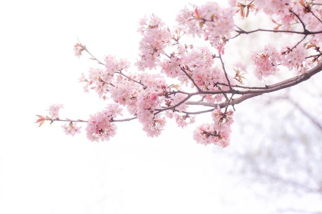 Miękkie wiosenne rozmycie tła kwitnące gałęzie wiśni sakura kopia przestrzeń